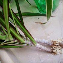 Для черенкования драцены используют отрезки стебля