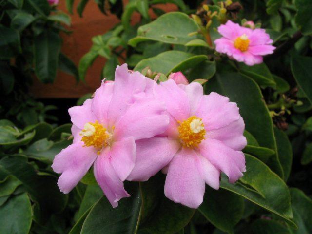 Переския крупноцветковая (Pereskia grandiflora)