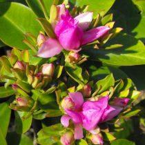Переския крупнолистная (Pereskia grandifolia)