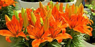 Садовые лилии — как выращивать в комнатах?