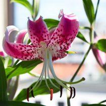 Лилия прекрасная (Lilium speciosum)
