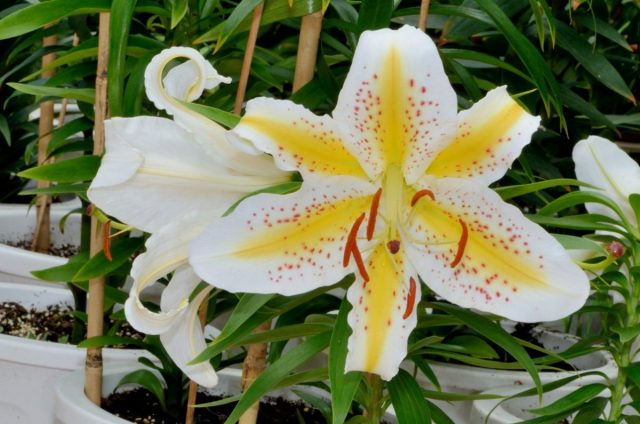Лилия золотистая (Lilium auratum)