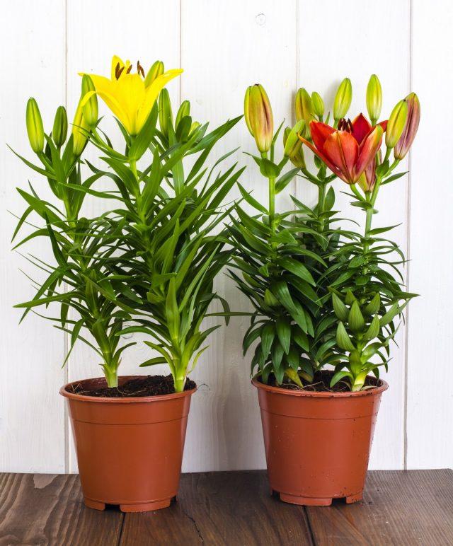 Горшечные лилии могут пострадать от почвенных и наземных вредителей