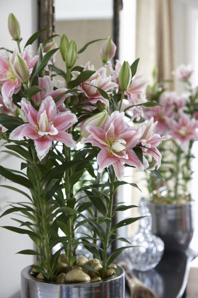 Восточная лилия (Lilium Oriental)