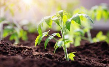 Секреты выращивания рассады томата