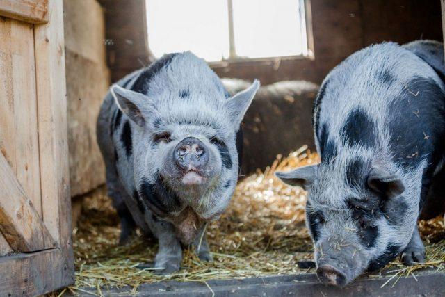 Для вьетнамских вислоухих подойдет обычный сарай для животных