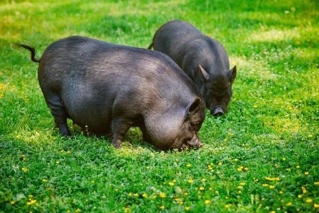 Свинья вьетнамская вислобрюхая (Sus scrofa domesticus)