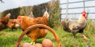 Яичные куры на лето — от цыплят до несушек