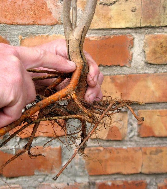 Корневая шейка — это то место, откуда начинает расти самый верхний корень