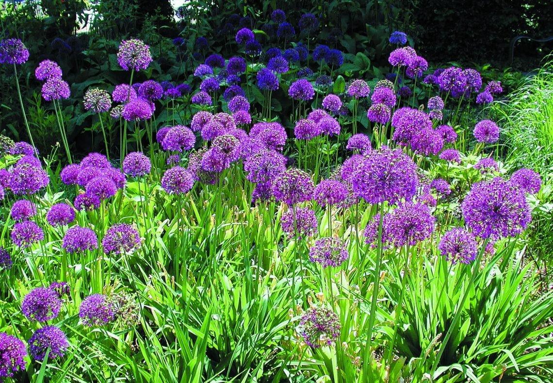2147_Allium-aflatunense-Purple-Sensation-1-1140x789