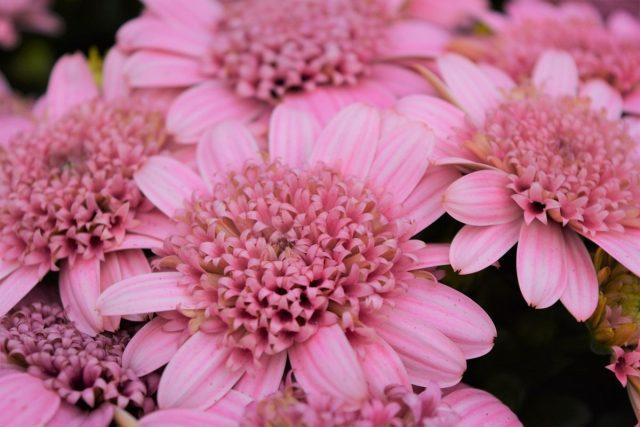 Остеоспермум (Osteospermum), сорт 'Margarita Double Pink'