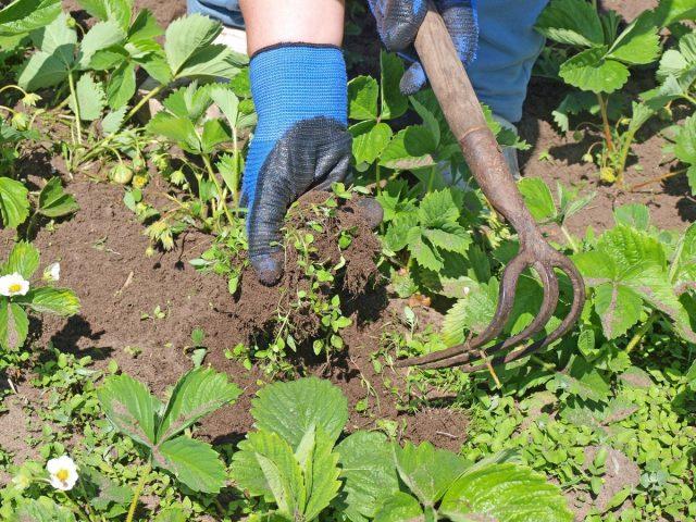 Грядки земляники садовой должны быть всегда чистыми от сорняков и лишних усов