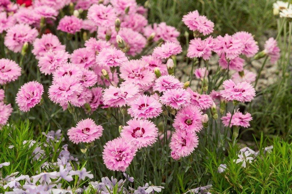 Dianthus-alpinus-Pop-Star-2