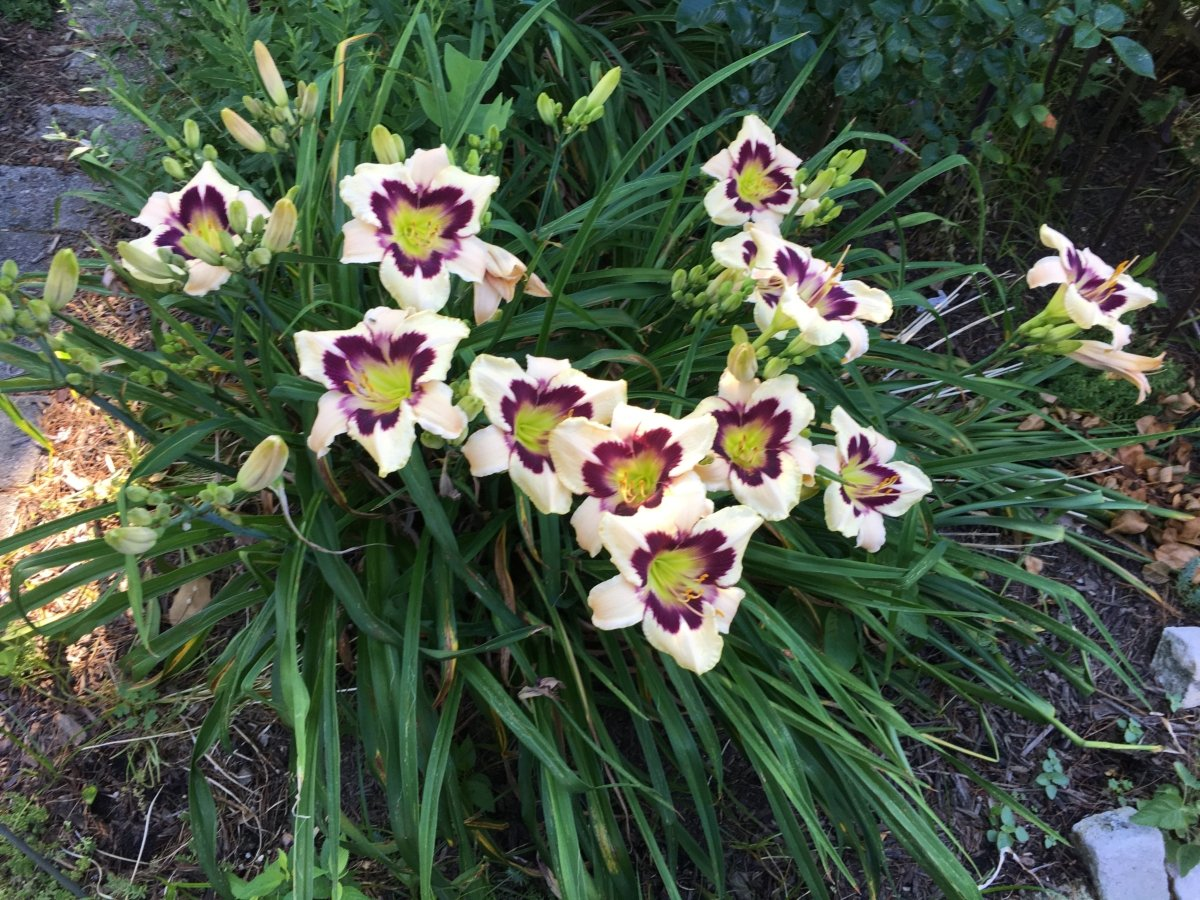 Hemerocallis-Moonlit-Masquerade-1_result