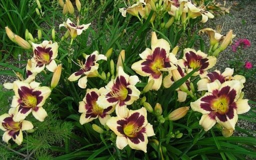 Hemerocallis-Moonlit-Masquerade-2_result