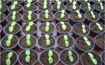 Время посева огурцов на рассаду зависит от сроков ее высадки в открытый грунт или теплицу