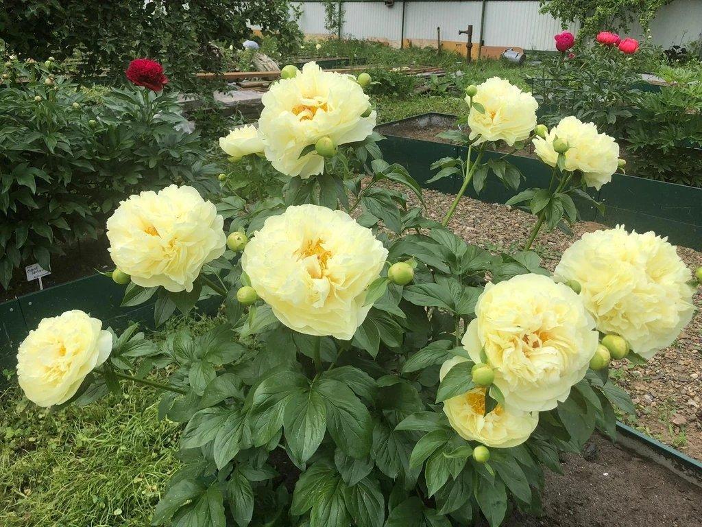 Paeonia-Lemon-Chiffon-2