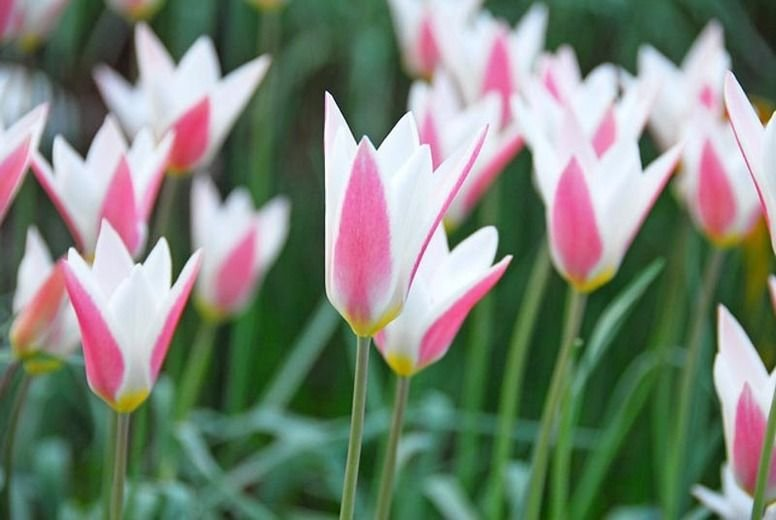 Tulipa-clusiana-Lady-Jane-1