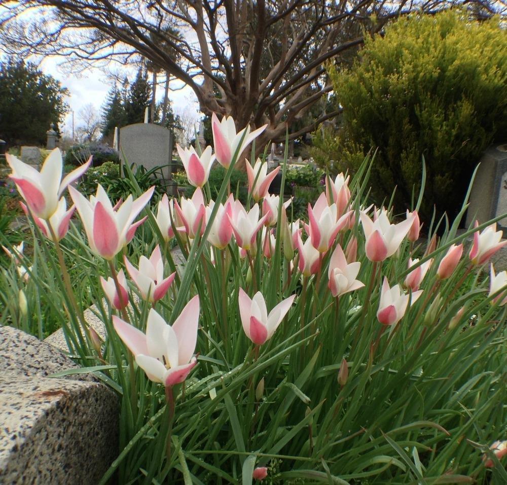 Tulipa-clusiana-Lady-Jane-3