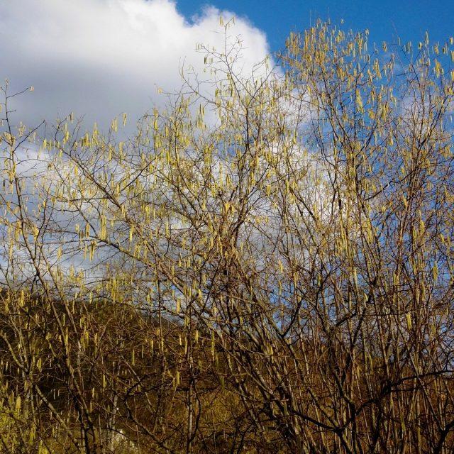 Начало весны на Кубани, цветение фундука