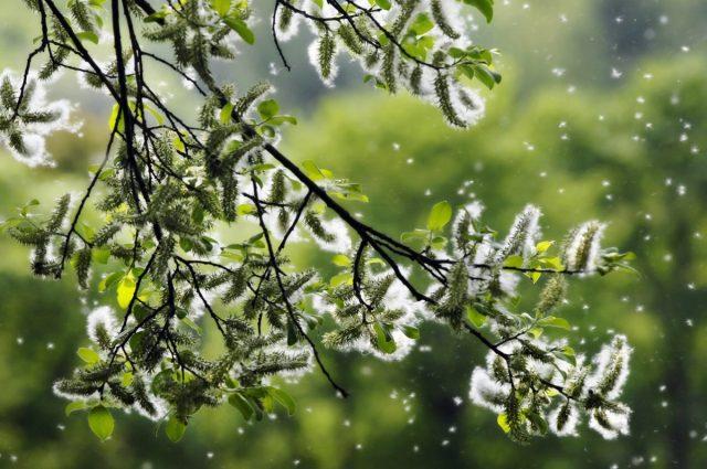 Аллергия на пыльцу растений, или поллиноз — кто виноват и что делать?