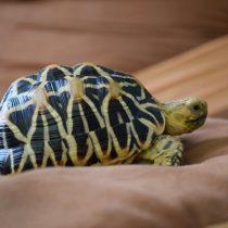 Звёздная, или индийская, черепаха