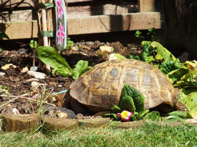 В качестве зелени предлагайте черепахе листья одуванчика, салата, люцерну, подорожник, газонную траву, щавель