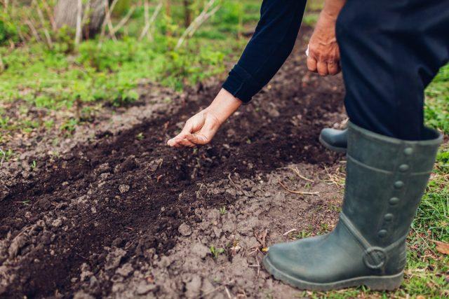 В мае срочно нужно сеять морковь, петрушку, укроп, сельдерей, пастернак