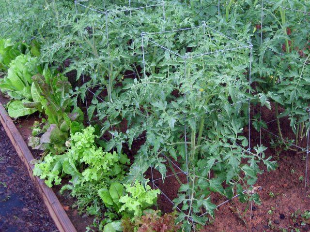 Листовой салат также способствует эффективному использованию места на помидорных грядках