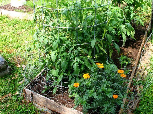 Бархатцы обеспечивают защиту томатов от насекомых