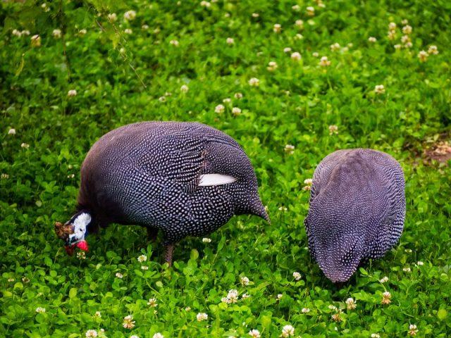 Цесарки с удовольствием поедают траву, различную мелкую живность, живущую в ней
