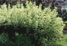 Дёрен — декоративный кустарник круглый год
