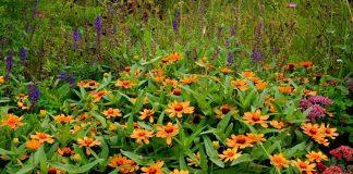 Карликовые циннии для модных цветников