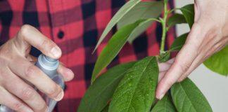Комнатное авокадо — тонкости ухода
