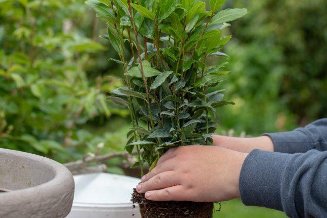 Выносить комнатные лавры в сад можно одними из первых