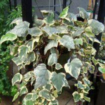Плющ канарский (Hedera canariensis)