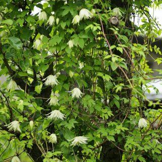 Княжики хороши для декорации стволов старых деревьев и коряг