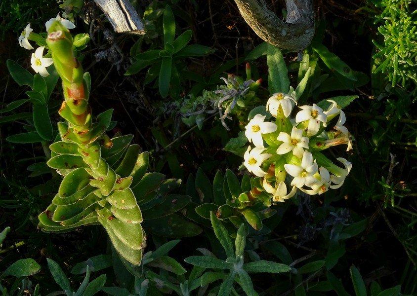 Рохея ароматнейшая (Crassula fascicularis)