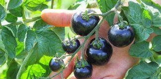 Синие помидоры, или анто-томаты — экзотические и очень полезные