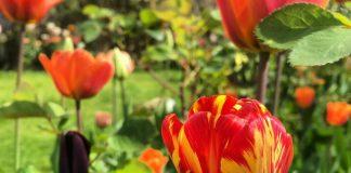 Тюльпаны стали пёстрыми? Осторожно — это опасный вирус!