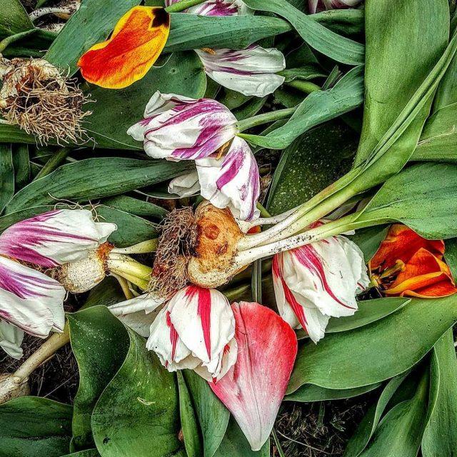 Начать борьбу с пестролепестностью стоит с выкопки всех растений, которые подозреваются в поражениях