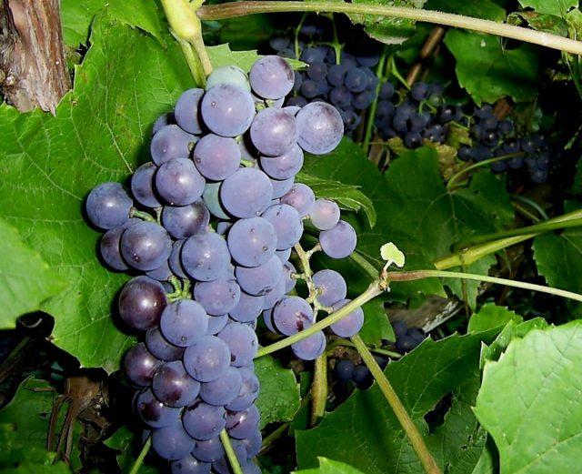 Амурский виноград в сентябре