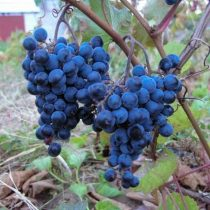 Виноград «Мариновский»