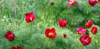9 лучших видовых пионов для садов в природном стиле