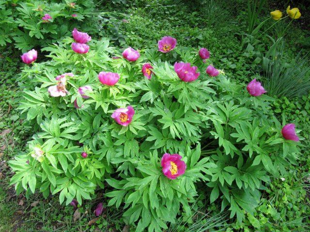Пион лекарственный (Paeonia officinalis)