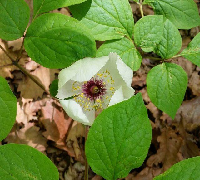 Пион горный (Paeonia oreogeton)