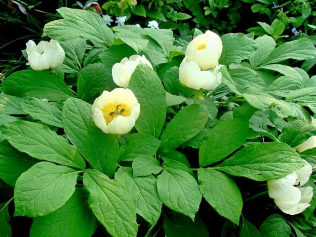 Пион японский (Paeonia japonica)