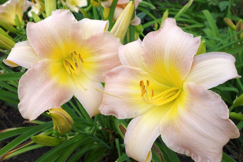 Hemerocallis-Catherine-Woodbury-1