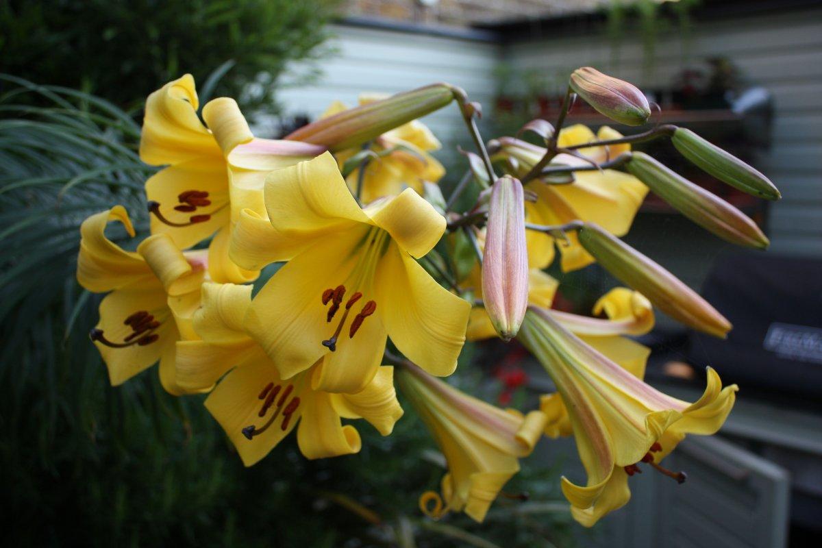 Lilium-Golden-Splendor-3