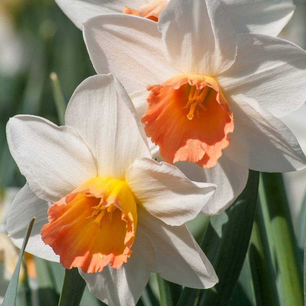 Narcissus-Accent-1